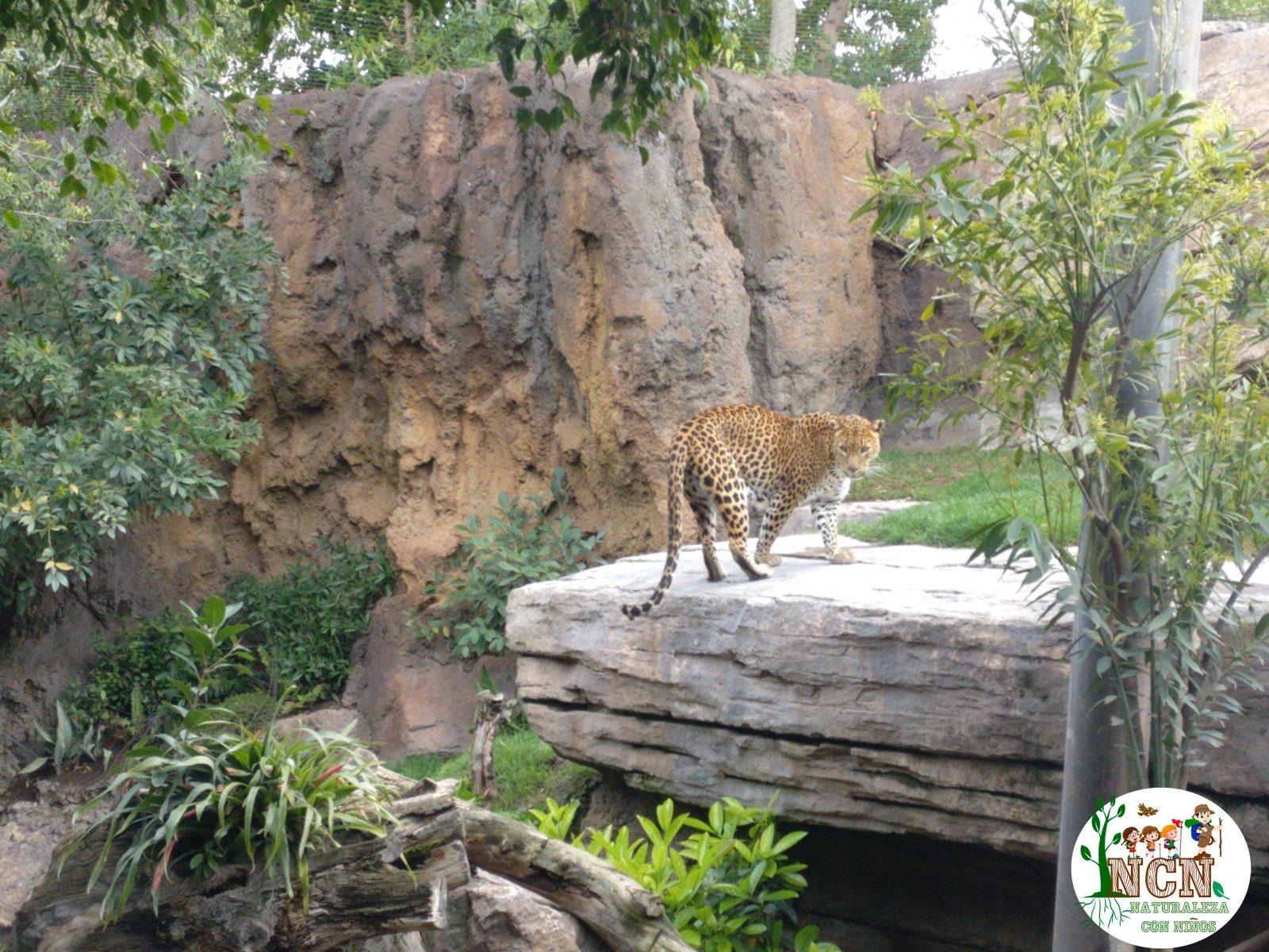 Leopardo Bioparc Valencia