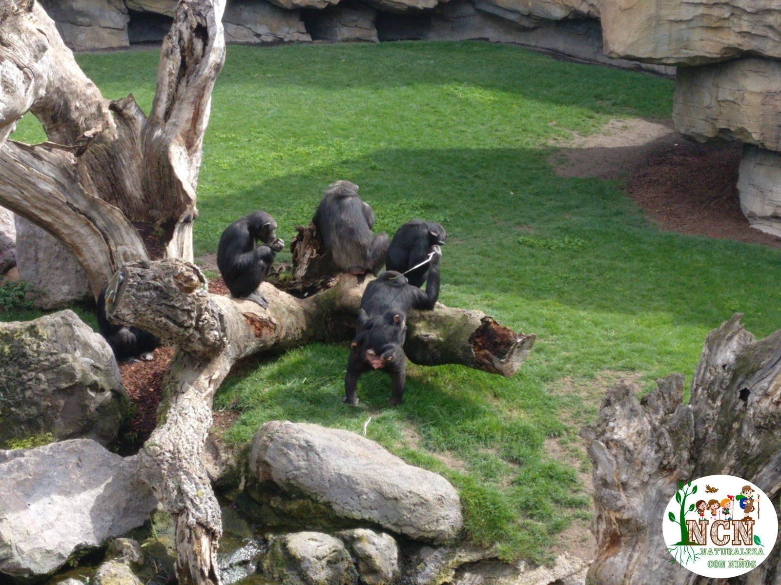 Chimpancés Bioparc Valencia