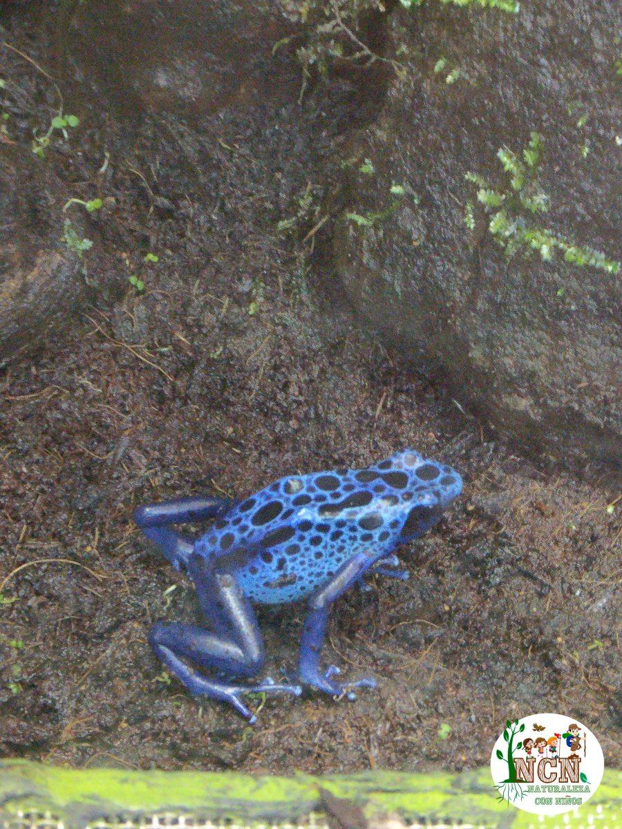 Rana veneno azul Bioparc Valencia