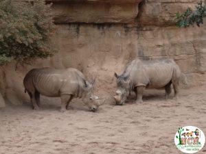 Rinocerontes Bioparc Valencia