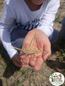 Insecto palo en dunas de la playa de El Carabassi